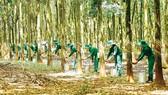 Vietnam's rubber export rise sharply