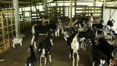 Quảng Ngãi: Phòng, chống rét cho gia súc, gia cầm