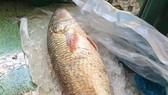 Một ngư dân bắt được cá sủ vàng 5kg