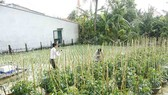 Ngư dân trồng hoa tết trên đảo Lý Sơn