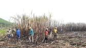 Quảng Ngãi: Nhà máy đường phải thu mua hết mía cho nông dân