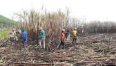 Thanh niên giúp dân thu hoạch mía bị lửa thiêu rụi