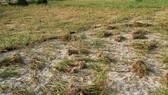 Quảng Ngãi: Tỏi Lý Sơn mất mùa, nắng nóng khô đồng