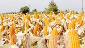 Khuyến khích sử dụng giống bắp mới để tăng năng suất