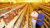 Chăn nuôi gia cầm sôi động trở lại