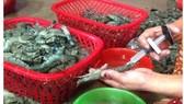 Mẫu thủy sản và sản phẩm thủy sản vi phạm chỉ tiêu hóa chất tăng