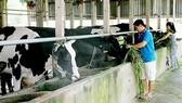 Nông dân TPHCM nuôi bò sữa. Ảnh minh họa