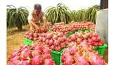 New Zealand hỗ trợ xây dựng chuỗi giá trị trái thanh long xuất khẩu