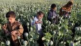 Sản xuất thuốc phiện ở Afghanistan tăng mạnh. Ảnh: Văn phòng LHQ về Ma túy và Tội phạm (UNODC)