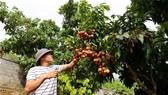 達VietGap標準的陸岸縣荔枝園今年失收價格飆升。(圖源:Zing.vn)