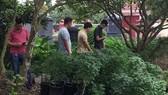 職能力量查獲該住房第二層和園地有859棵疑似大麻樹。(圖源:公安機關提供)