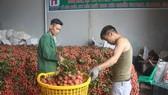 海防市呼籲每公務員買 20 公斤荔枝。(示意圖源:V.H)