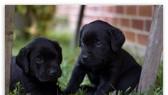 兩隻黑狗。(圖源:互聯網)