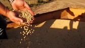 美國政府將對在貿易戰中遭受損失的農民給予120億美元補貼。(示意圖源:互聯網)