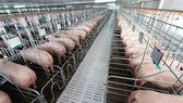 出口中國豬肉金額突破 10 億美元。(示意圖源:互聯網)