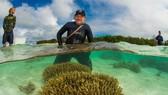 哈里森與其團隊展開大型的珊瑚再生計劃。(圖源:互聯網)