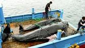 6月30日,日本正式退出國際捕鯨委員會,停止在南極和太平洋北部用於科學目的的捕鯨活動,並將開始在自己的專屬經濟區內進行鯨魚的商業捕撈。(圖源:互聯網)