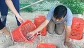 66 cá thể rùa biển được ấp nở tại Cù Lao Chàm