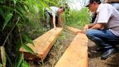 Thu giữ gỗ xẻ tại hiện trường một vụ phá rừng ở Lâm Đồng