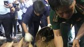 Một vụ buôn lậu ngà voi bị bắt tại TPHCM