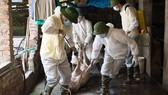 Ban Bí thư chỉ thị về phòng chống dịch tả heo châu Phi