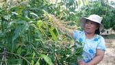 Người dân phường Mũi Né buồn bã nhìn hàng loạt diện tích xoài không đậu trái.