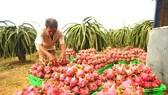 Thanh long Bình Thuận đang tăng giá đột biến.