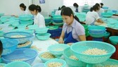 Cashew processing in Binh Phuoc province