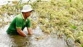 Mr. Ngo Van Hong cuts young rice to avoid surging floodwater in Vinh Dai commune, Vinh Hung district, Long An province (Photo: SGGP)