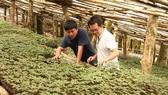 Ginseng growing zone of Ngoc Linh Ginseng Kon Tum Joint Stock Company. (Photo: SGGP)