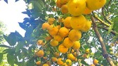 Orange orchards laden with fruits wait for Tet sale