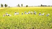 Winter-spring rice crop faces poor consumption