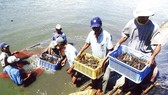Farmers collect shrimps in the Mekong Delta. (Photo: SGGP)