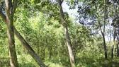 Rừng cao su bỏ hoang, dân yêu cầu trả lại đất