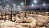 3.750 con heo bị tiêm thuốc an thần tại cơ sở giết mổ Xuyên Á (Củ Chi)
