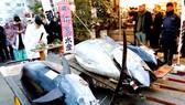 Cá ngừ vây xanh giá 36,5 triệu yên