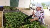 Chế biến dược liệu tươi thành sản phẩm thuốc y học cổ truyền ở Hà Giang