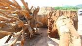 """Xác định rõ nguồn gốc 2 trong 3 cây cổ thụ """"khủng"""" tạm giữ tại Thừa Thiên - Huế"""