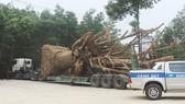 """Vì sao 3 cây cổ thụ """"khủng"""" vẫn chưa thể rời Thừa Thiên - Huế?"""