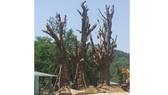 3 cây cổ thụ được trồng tạm ven đường tránh QL1A qua TP Huế.