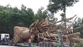 """3 cây cổ thụ """"khủng"""" chưa thể di chuyển ra Hà Nội vì 6 cây cầu yếu"""