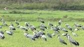 Đàn chim lạ xuất hiện tại Quảng Trị được xác định ban đầu là cò nhạn