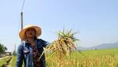 Người dân ở tỉnh Hà Tĩnh bị thiệt hại nặng do lúa bị đạo ôn cổ bông
