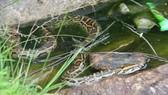 Trăn gấm hoang dã quý hiếm đã được thả về lại môi trường tự nhiên