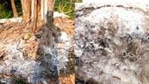 Lớp muối trắng xóa vẫn còn dưới gốc cây cổ thụ