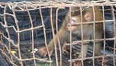 Cá thể khỉ mốc quý hiếm