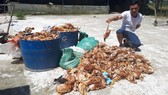 Anh Nguyễn Văn Báo bên 1.200 con gà nuôi của trang trại bị chết trong đêm 14-5