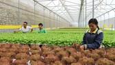 Mô hình trồng rau rạch ở phường 5, TP Đà Lạt. Ảnh: ĐOÀN KIÊN