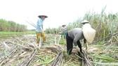 Trồng mía ở huyện Phụng Hiệp, Hậu Giang