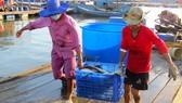 Ngư dân Long Sơn (TP Vũng Tàu) vận chuyển cá bớp